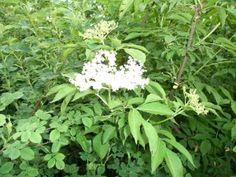 černobezový med