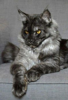 Soot || tom-cat || fierce looking and deadly but has a sweet side for she-cats and kits || ruthless in battle || no mate or crush || rank is a high ranked defender http://www.mainecoonguide.com/male-vs-female-maine-coons/