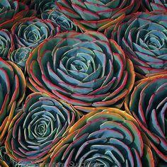Echeveria imbricata enhanced. #gardening #blueplants #debraleebaldwin #succulents #succulentchic #echeveria by debralbaldwin