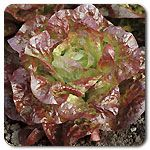 Organic Roxy Lettuce..salad
