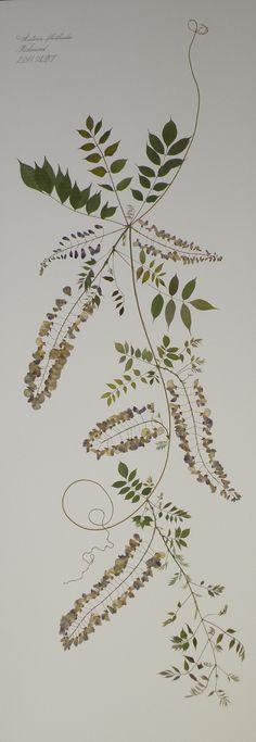 Wisteria floribunda (5 foot) – Anne Blackwell Thompson