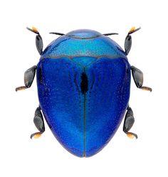 Pachyscelus sp