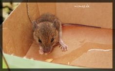Ein weitverbreiteter Irrglaube ist: Die Katze als Haustier hält jede Maus fern. Diese Geschichte belegt das Gegenteil …