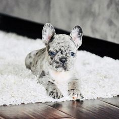 When thinking of what outfit to dress up your French Bulldog in . If you are more imaginative than I am some of these DIY French Bulldog . Merle French Bulldog, English Bulldog Puppies, Cute French Bulldog, Teacup French Bulldogs, English Bulldogs, Blue French Bulldogs, Cute Funny Animals, Cute Baby Animals, Animals Dog
