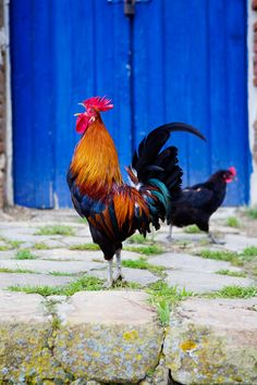 Most people go to midnight mass, 'la miss del gallo' (the mass of the rooster). It is called this because a rooster crowed the night that Jesus was born.