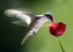 The hummingbird is one of the most interesting and beautiful birds. Description from boostinspiration.com. I searched for this on bing.com/images