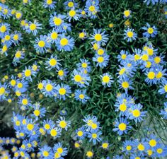 Felicia bergeriana 'Cub Scout' Seeds from Chiltern Seeds - Chiltern Seeds Secure Online Seed Catalogue and Shop Autumn Summer, Late Summer, Fall, Seed Catalogs, Flower Names, Blue Daisy, Annual Flowers, Cub Scouts, Kingfisher