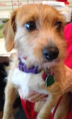 Check out Lola *F*'s profile on AllPaws.com and help her get adopted! Lola *F* is an adorable Dog that needs a new home. https://www.allpaws.com/adopt-a-dog/dachshund-mix-wirehaired-fox-terrier/3771559?social_ref=pinterest