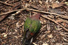 Emerald Dove.Hartley's Crocodile Park, Queenslands.