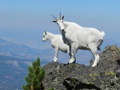 Mountain GoatThe mountain goat, also known as, the Rocky Mountain goat, inhabits the rocky mountains in North America through British Columbia, and into southern Alaska. Mountain Goats are related to captive goats, however, are more closely related...