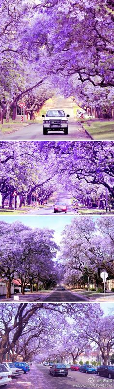 Jacaranda trees flower city of Pretoria in South Africa....they are beautiful but I don't like the smell!!