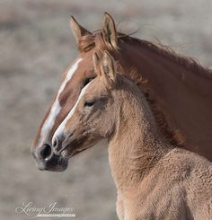 This little wild filly is right next to her mother at the waterhole in Sand Wash. Her name is Wanda Walker and she is full of spunk. Wanda the Wild Filly by Fine Art Wild Horse Photograph.  #horse #wildhorses