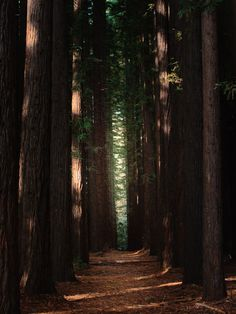 East Warburton Redwood Forest, Australia