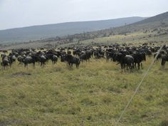 Masai Mara Wildebeest Migrations Special offers @ ksh 14,500 .contact 0710798172/Email abednegoh@africahomeadventure.com