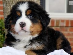 I got: Bernese Mountain Dog! Which dog should you have? Animals And Pets, Baby Animals, Cute Animals, Love Dogs, Big Dogs, Bernese Mountain, Mountain Dogs, Cute Puppies, Dogs And Puppies