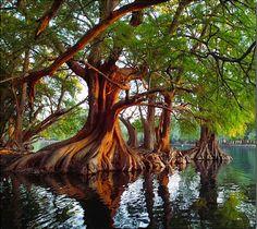 Cyprus Trees, Michoacan, Mexico.
