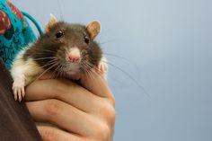 I miss my pet rat. :( I Miss Kevin girl.