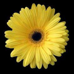 Cuadro Yellow Gerbera Daisy