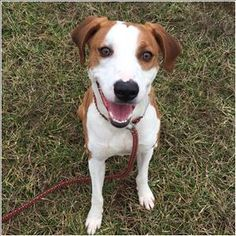 🐾❤️Meet Tonka, an adoptable Hound looking for a forever home. She's at  Hardin County Animal Control in Elizabethtown, KY. If you're looking for a new pet to adopt or want information on how to get involved with adoptable pets, Petfinder.com is a great resource.