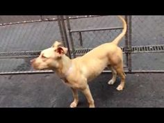 SAFE❤️❤️ 6/25/16 Manhattan Center DAPHNE – A1076214 **SAFER: EXPERIENCED HOME** FEMALE, TAN / WHITE, AM PIT BULL TER MIX, 1 yr OWNER SUR – EVALUATE, NO HOLD Reason STRAY Intake condition UNSPECIFIE Intake Date 06/04/2016, From NY 10453, DueOut Date 06/07/2016