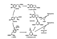 Betalains are synthesized from the amino acid tyrosine through L-DOPA into the two subclasses, betacyanins (reds and purples) and betaxanthi...