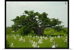 Ce baobab pousse sur une butte de plusieurs mètres de hauteur exclusivement constituée de fragments de coquillages (Joal Fadiouth Sénégal). La présence de nombreux baobabs à cet endroit confirme l'affinité de cette espèce avec les environnements calcaires.     © Sébastien Garnaud - Tous droits réservés