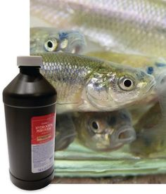 Add life to your leftover minnows by adding a cap full of hydrogen peroxide to your bait bucket. Store in a cool place and change water often, at least every other day. Get tips like these and more by subscribing to Iowa Outdoors magazine. #Iowa #Outdoors