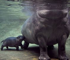 wee little baby hippo