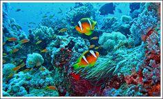 orange skunk clownfish and his anemone unterwasserwelt. Black Bedroom Furniture Sets. Home Design Ideas