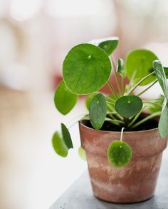 7 Houseplants With the Most Unique Leaves Weve Ever Seen - House Plants - ideas of House Plants - This little cutie spotted on Lebens Lustinger is a petite Chinese money plant. Its scientific name is Pilea Peperomioides Foliage Plants, Potted Plants, Indoor Plants, Hanging Plants, Plantas Indoor, Indoor Vegetable Gardening, Organic Gardening, Chinese Money Plant, Chinese Plants