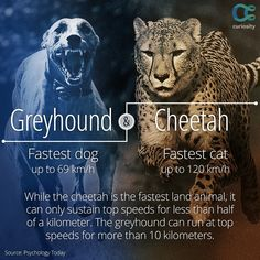 The cheetah is the fastest land animal on Earth, but the greyhound would leave it in the dust in a long-distance race. Watch this incredible video of the greyhound and cheetah run in super slow-motion: https://curiosity.com/video/cheetah-vs-greyhound-worlds-fastest-dog-in-super-slow-motion-slo-mo-29-earth-unplugged-earth-unplugged/?utm_source=pinterest&utm_medium=social&utm_campaign=10214pin