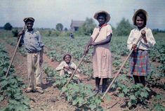 1930 Louisiana - Four children cultivate cotton in a field.