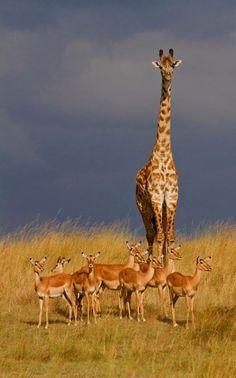 Masai Mara, Kenia africa safari ♔❤️Ellie the Gifted Giraffe Nature Animals, Animals And Pets, Cute Animals, Wild Animals, Savanna Animals, Wildlife Nature, Exotic Animals, Safari Animals, Baby Animals