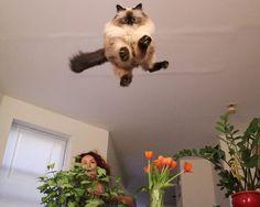 gatto in fase di salto