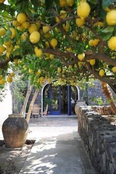 I wonder if the lemon tree I have will grow to such proportions like those pictured above- wow! My Meyers lemon tree had a rough start to. Citrus Trees, Fruit Trees, Trees To Plant, Lemon Tree Potted, Beautiful Fruits, Beautiful Gardens, Herb Garden, Vegetable Garden, Gardening Vegetables