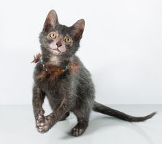 A cat breed so new, it's just on the cusp of showing, the Lykoi came out of the woodwork in 2011, and Tennessee veterinarian Johnny Gobble started taking notice.