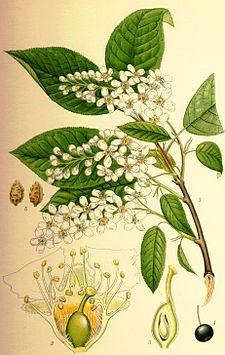 Hägg - Prunus padus Tatuering?