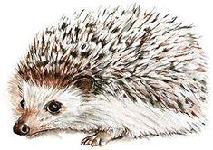 Hedgehog Set of 4 Temporary Tattoos (Waterproof Lasts 3 to 4 days) Hedgehog Tattoo, Hedgehog Drawing, Hedgehog Art, Animal Paintings, Animal Drawings, Art Drawings, Painting & Drawing, Watercolor Paintings, Watercolours