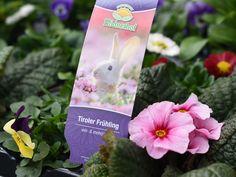 Das Tiroler-Frühling-Tragekörbchen behinhaltet Pflanzen wie, Becherprimel, Viola, Gänseblümchen, Vergissmeinnicht.  #erlebnisgärtnerei #hödnerhof #ebbs #kufstein #mils #hall #tirol #größtegärtnereitirol #gärtnerei #eigenprodukion #pflanzenwelt #dekowelt #ausflugsziel #erleben #cafebistro #wirliebenblumen #flowerlovers #spring #bumenliebe #hornveilchen #viola #gänseblümchen #bellis #becherprimel #primula #vergissmeinnicht #myosotis Cover, House Plants, Seasons, Things To Do, Flowers, Decorations, Blankets