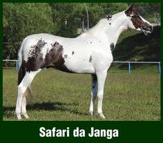 Safari do Janga - Mangalarga stallion