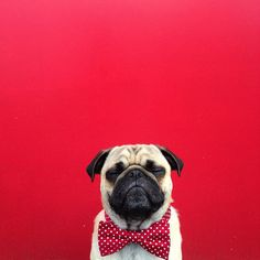 Norm the pug instagram. Dapper.