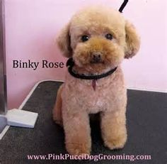 Toy Poodle & Maltipoo Grooming Examples   Torrance Dog Grooming Pet ...