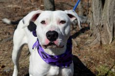 TO BE DESTROYED - NYACC - Sun 3/30 - Niko - 9 months old - https://www.facebook.com/photo.php?fbid=778413645504850&set=a.611290788883804.1073741851.152876678058553&type=3&theater