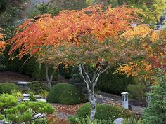 Thinking of this in the front as the garden bed winds along the front of the house and curves to meet the driveway. Acer Trees, Deciduous Trees, Acer Garden, Japanese Maple Varieties, Coral Bark Maple, Asian Garden, Acer Palmatum, Contemporary Garden, Exotic Plants