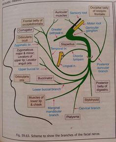 Facial nerve Dental Anatomy, Gross Anatomy, Brain Anatomy, Medical Anatomy, Anatomy And Physiology, Medicine Notes, Emergency Medicine, Dental Hygiene Student, Dental Humor