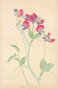 Chigusa Soun Flowers of Japan Woodblock Prints 1900 | Chigusa Soun ...