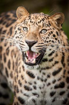 Manchurian, the male Amur Leopard by Chikrata.deviantart.com on @deviantART