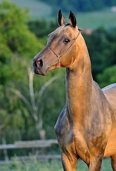 Prizewinner (III) Of World Championship in Moscow. This buckskin Stallion, Duigur, 1998, was born in Russia.