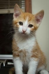 Mufasa is an adoptable Domestic Short Hair - Orange And White Cat in Richland, WA. Mufasa is a little on the shy side but loves his brother twin brother Kovu. The older he gets the more independent h...