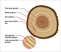 The color and width of tree rings can provide snapshots of Earth's past climate conditions.